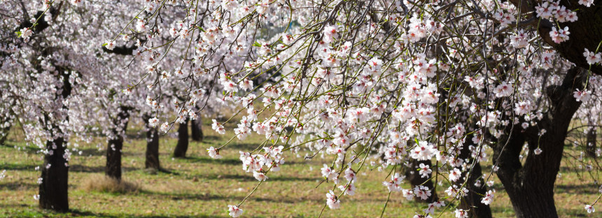 Magic almond blossom season in Ibiza