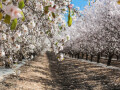 The almond blossom route of Ibiza