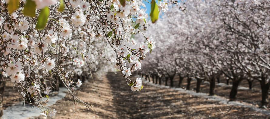 The almond blossom route of Ibiza