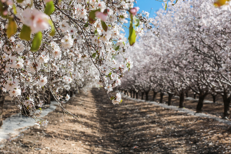 ruta ibiza almendros en flor